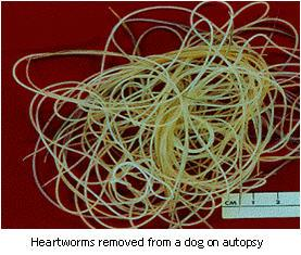 Heartworms from a deceased dog